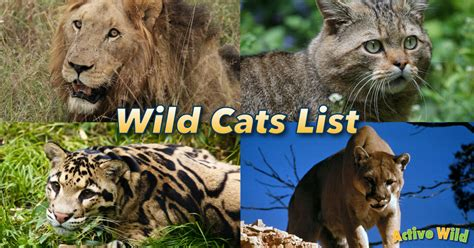 wild cats list  pictures facts  guide   wild