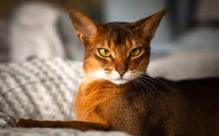 abyssinian cat for abyssinian cat wallpapers hd