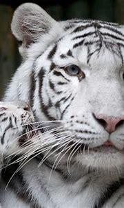White tigers - Times Union
