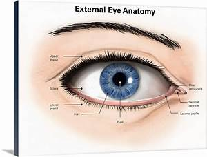 External Anatomy Of The Human Eye  With Labels  Wall Art