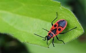 Feuerwanzen Im Garten : 90 best insekten images on pinterest bugs bee and bees ~ Lizthompson.info Haus und Dekorationen