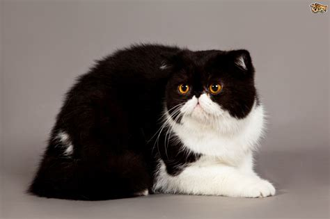 Exotic Cat Breed Information, Buying Advice, Photos and ...