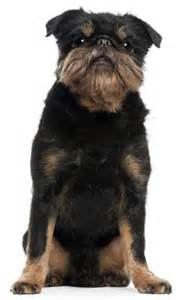 brussels griffon rough