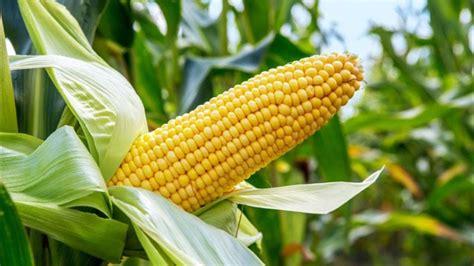 Maize - Definition of Maize