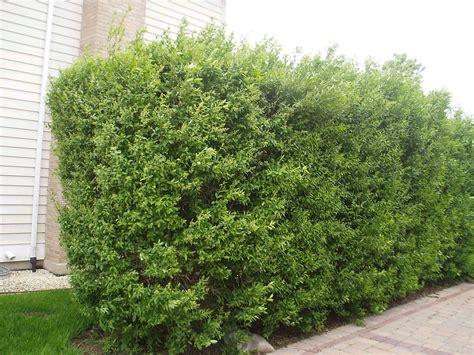 privet hedge privet either european or cheyenne landscaping ideas pinterest privet hedge garden