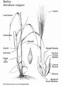 Parts Of A Cereal Plant