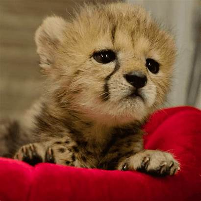 Happy Giphy Zoo Diego San Animals Cheetah