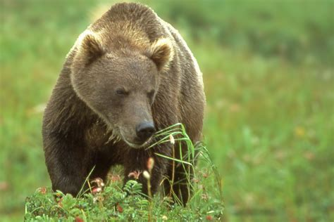 species identification black  browngrizzly wise