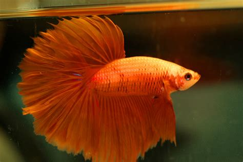 betta fish colors  fish doctor