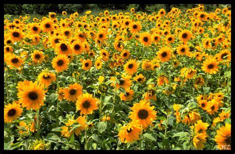 sonnenblumen foto bild pflanzen pilze flechten