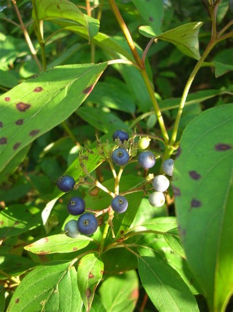 small tree with berries native shrub small tree with blue berries