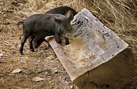 ossabaw island pigs  colonial williamsburg official