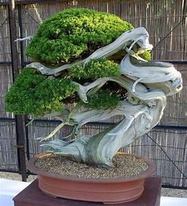 Bäume Für Drinnen : bonsai baum mit au ergew hnlicher form zimmerpflanzen ~ Michelbontemps.com Haus und Dekorationen