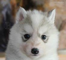 Husky Zu Verkaufen : siberian husky welpen zu verkaufen in bregenz von privat ~ Orissabook.com Haus und Dekorationen
