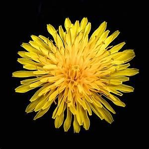 Yellow Chrysanthemum Photograph by Bob and Nadine Johnston