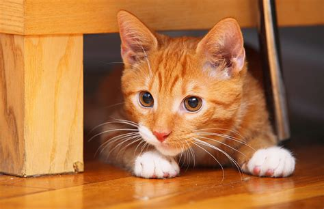 70 Ginger Cat Names Cute Hilarious Names Youll Love