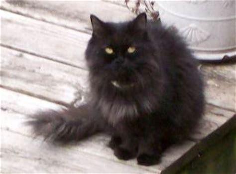 chat persan noir chaton persan noir trouv 233 224 lasalle petluck ca