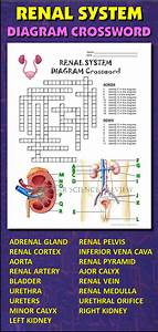 Urinary System Crossword With Diagram  Editable