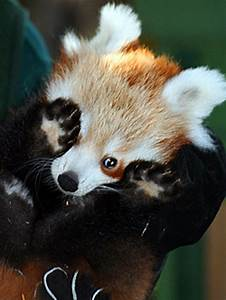 Cute Red Baby Pandas - Page 2 of 2 - Barnorama