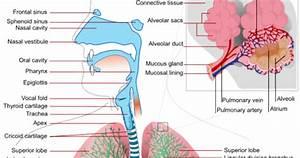 Hoopman U0026 39 S Science  Grade 7 Week 13  Respiratory System
