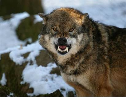 Wolf Wolves Angry Snarling Animals Teeth Animal