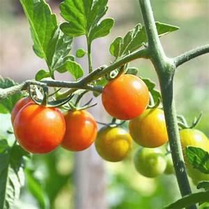 Comment Tuteurer Les Tomates : comment cultiver les tomates ~ Melissatoandfro.com Idées de Décoration