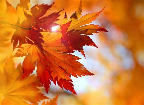Orange Leaf Wallpaper by Wallpapers Leaf Nature Orange Autumn Closeup