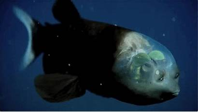 Fish Transparent Barreleye Animals Head Sci Fi
