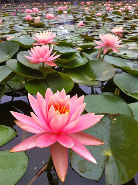 Free photo: Lotus pond - Green, Leaves, Lotus - Free ...