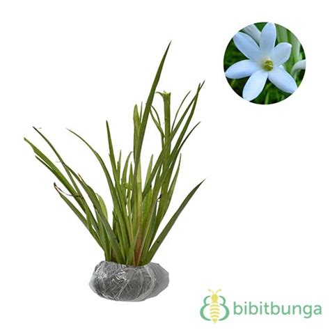 Tanaman Hias Bunga Sedap Malam jual tanaman sedap malam bibitbunga