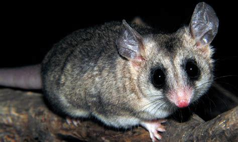 tailed opossum file llaca jpg wikipedia