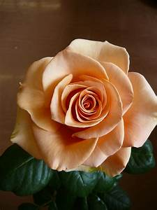 Marilyn Monroe rose. This color is burned into the brains ...