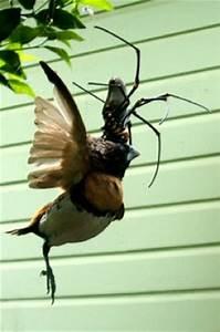 Giant spider eats bird / Boing Boing