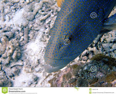 grouper bluespotted royalty atoll maldives ari south