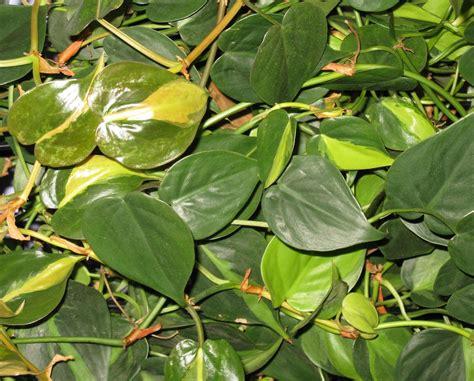 plante grimpante d interieur plantes d int 233 rieur 3 petites mailles