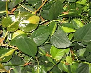 Plante Intérieur Grimpante : plante verte grimpante interieur ~ Louise-bijoux.com Idées de Décoration
