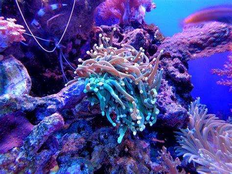 free photo coral anemone cay aquarium sea free image on pixabay 1053837