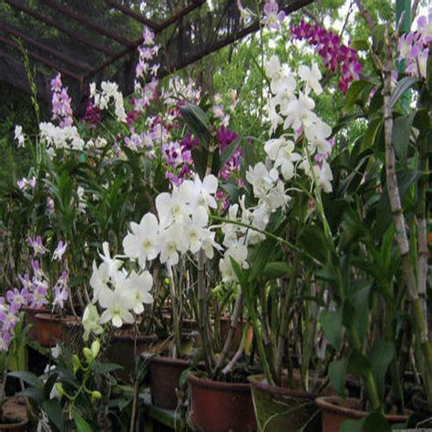 orchid plant flower plant oviya nursery garden chennai