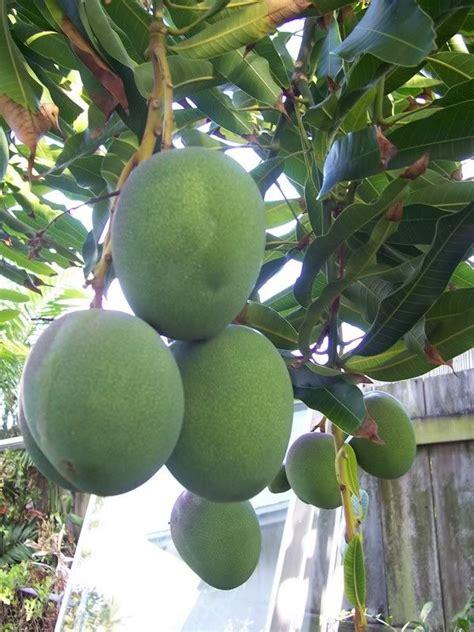 apple mangoes tropical fruits   fruit mango