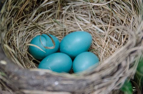 hoodedhawk 187 robin nest with four eggs