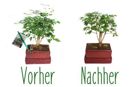 bonsai umtopfen anleitung bonsai einfach bonsai umtopfen anleitung in bezug auf schritt f 252 r mein sch 246 ner garten