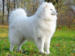 Giant White Fluffy Dog Breed Bred The Dogs Big - Litle Pups
