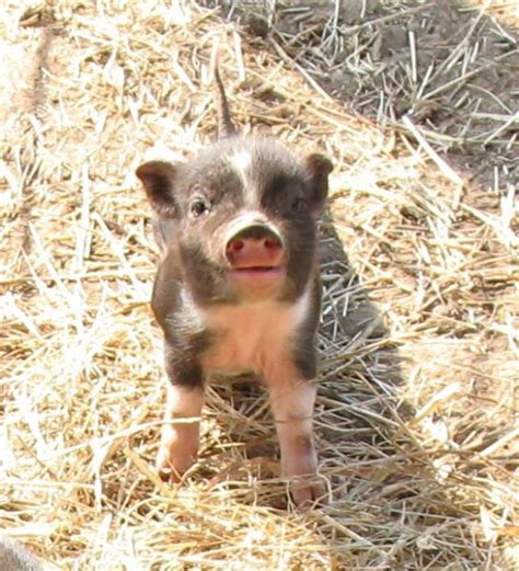 mini pot belly pig mini pigs i must have one they re about 20 lbs full grown photos of royal dandies the