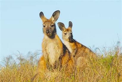 Kangaroo Kangaroos Hug Photoshoot Animals Shares