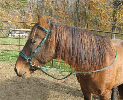 bitless bridles horses hackamore