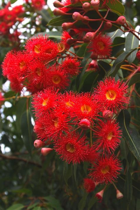 11 Best Images About Native Australian Flowers On