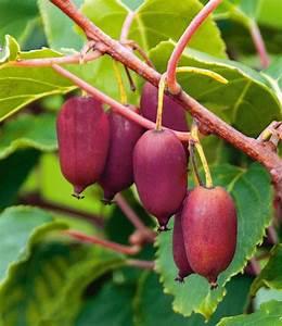 Mini Kiwi Schneiden : trauben kiwi 39 red jumbo 39 garden pinterest kiwi fruit und exotic fruit ~ Orissabook.com Haus und Dekorationen