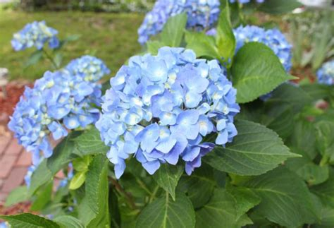 care of hydrangeas in pots how to care for potted hydrangeas in winter bcliving