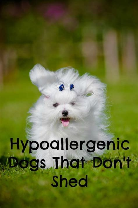 Hypoallergenic Dogs That Dont Shed by Hypoallergenic Dogs That Don T Shed The Allergies