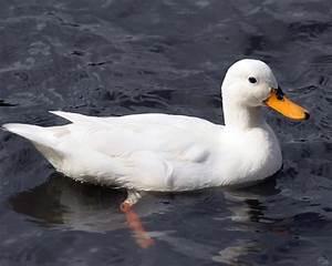 Gambar Bebek Lucu dan Keren